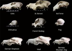 Вчені оскаржили походження собак від вовків