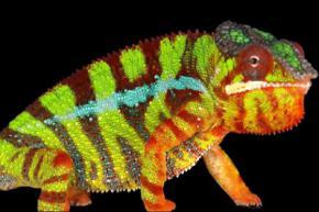 Ученые объяснили способность хамелеонов менять цвет