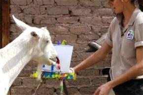 Американского козла научили писать картины