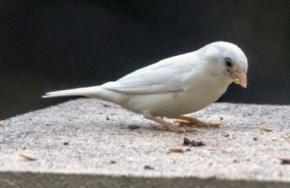 В Австралии обнаружили воробья-альбиноса