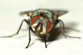 Мозг мух обладает встроенным компасом, - Биологи