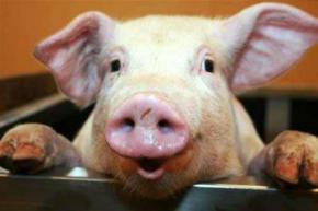 Вчені прийшли до висновку що свині розумніші за собак і мавп