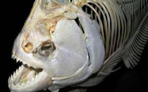 Первыми в мире обладателями зубов были рыбы, - исследование