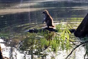 В США енот оседлал аллигатора