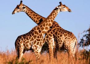 Вчені зрозуміли, як у жирафів з'явилася довга шия