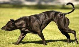 Китайские генетики создали сверхсильных собак-мутантов